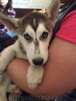 Acil sahiplendirme Safkan Sibirya kurdu Maskeli Husky 3 aylık erkek