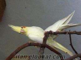 Satılık papağan çiftleri