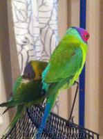 çift erikbaş papağanları dişi erkek