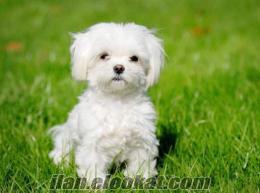 Maltese terrier ücretsiz sahiplenme