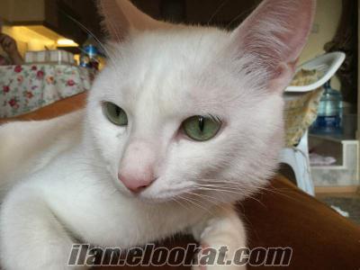 Ankara kedisi kizimiza erkek ankara kedisi ariyoruz