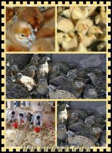 kargo ücreti bize ait olan civciv satışı devam ediyr