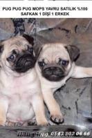 Pug satılık pug yavru satılık PUG bebekler