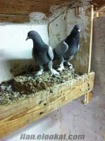 Kayseride taklacı güvercinler