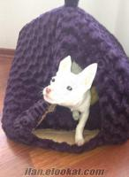 4 aylık erkek chihuahua köpeğime acil yuva arıyorum