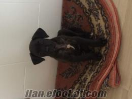 cane corso dişi 2 buçuk aylık saf