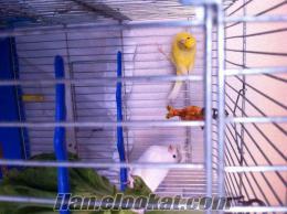 kanarya 3 yaşında sarı