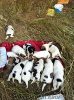 2 aylık yavru köpekler