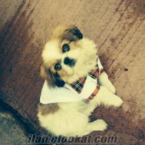 rizeden sahibinden satılık pekines köpek