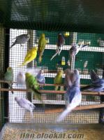 adanadan satılık hint bülbülü çekoslovak kırık kuşlar