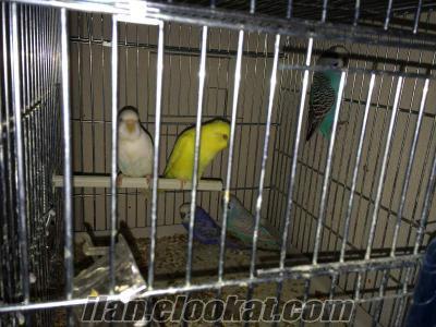 İstanbul Bağcılar muhabbet kuşu