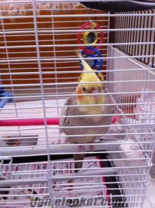 Satılık evcil yavru Sultan papağan