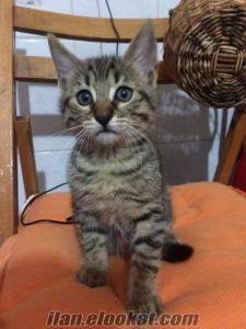 bursada 3 minik kedi yavrusu ömürlük ailelerini arıyor..