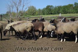 Safkan romanov koyunlar