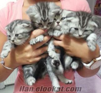 20 Haziran doğumlu Scottish (Erkek) British (Dişi) WHISKAS yavru kedi