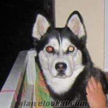 Sibirya kurdu köpeğimi sahiplendirmek istiyorum