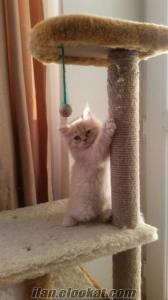 Chincilla yavrumuzu ücretli vermek istiyorum kendi kedimin yavrusu
