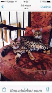 Satılık Bengal kedi yavruları (anne ve baba şecereli )