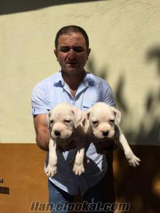 Satılık Beyaz ve kahverengi boxer yavrularımız