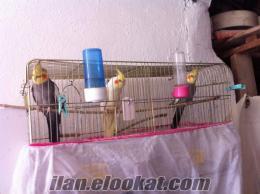 Akhisarda sultan papağanı