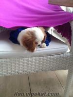 istanbulda sahibinden çok uygun fiyata satılık yavru köpek cavalier king