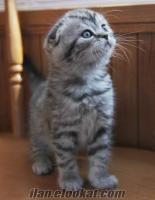 scottish fold, british shorthair yavrular samet demirkaya
