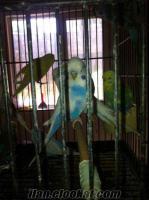 Toptan Muhabbet Kuşu, aksesuar ve malzemeleri