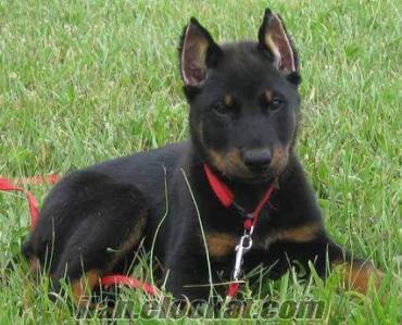 Beauceron Köpek arıyorum