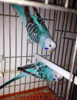 Çekoslavak muhabbet kuşlarımı satılık veya kanarya ile takaslanır