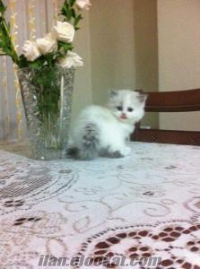 Satılık ragdoll kedi yavrusu