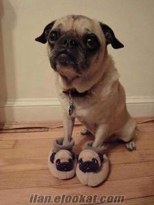 Ücretsiz pug cinsi köpek sahiplenmek istiyorum
