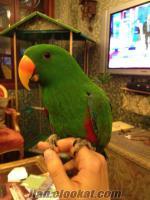1 erkek 1 dişi eclectus papağanı sahibinden