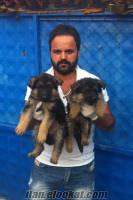 Alman kurdu satılık Alman kurdu yavruları