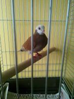 Satılık Baska cinsi güvercin