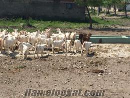 Keçi çiftliğine çoban aranıyor