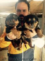 Rottweiler yavruları ankara rot yavruları