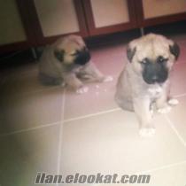 Satılık safkan Sivas Kangal köpeği yavruları