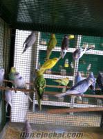 adanadan satılık çekoslovak kırığı kuşlar