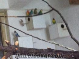 Bursada satılık papağan