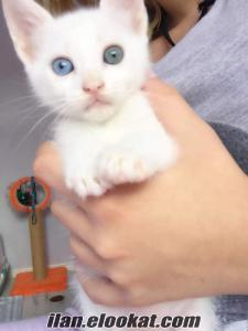 yavru kedi (van kedisi molly yuvasına gitmek için hazır)