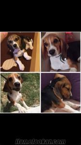 Eğitimli Satılık Beagle