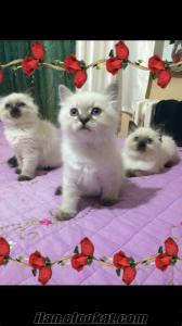 Sibirya Neva Masquerade kedi ALLERJİ YAPMAYAN!!!