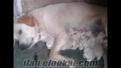 Anne altından SAFKAN 1.KALİTE şampanya Labrador yavruları
