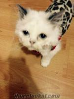 redpoint erkek kedi(izmir)