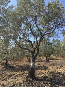 30 yaşında Zeytin ağacı (tirilye) satılıktır. 100 adet