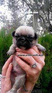 izmirde köpek çiftliginden satılık Mops Pug Yavrular