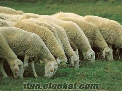 Tekirdağ Malkara satilik koyun