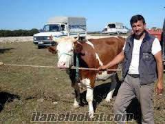 kayseri Bünyan satılık damızlık sementa inek 20 kg sütü var