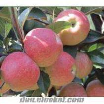 sakarya pamukovada toptan organik gala cinsi elma