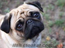 Eskişehir yakınlarndan pug köpeği arıyorum